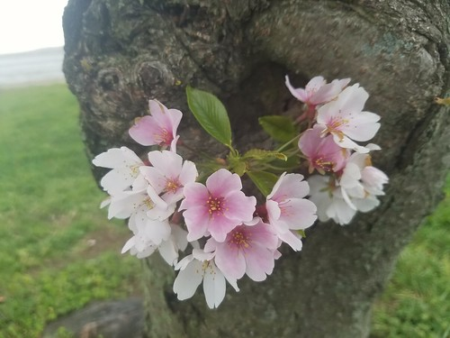Blossoms in a Burl