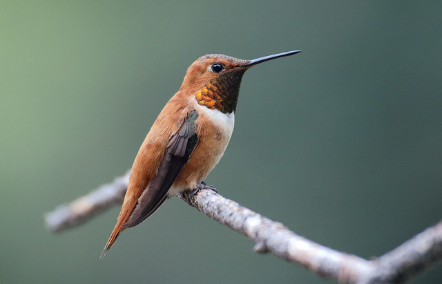 Rufous Hummingbird -- Male (Selasphorous rufus); Santa Fe National Forest, NM, Thompson Ridge [Lou Feltz]