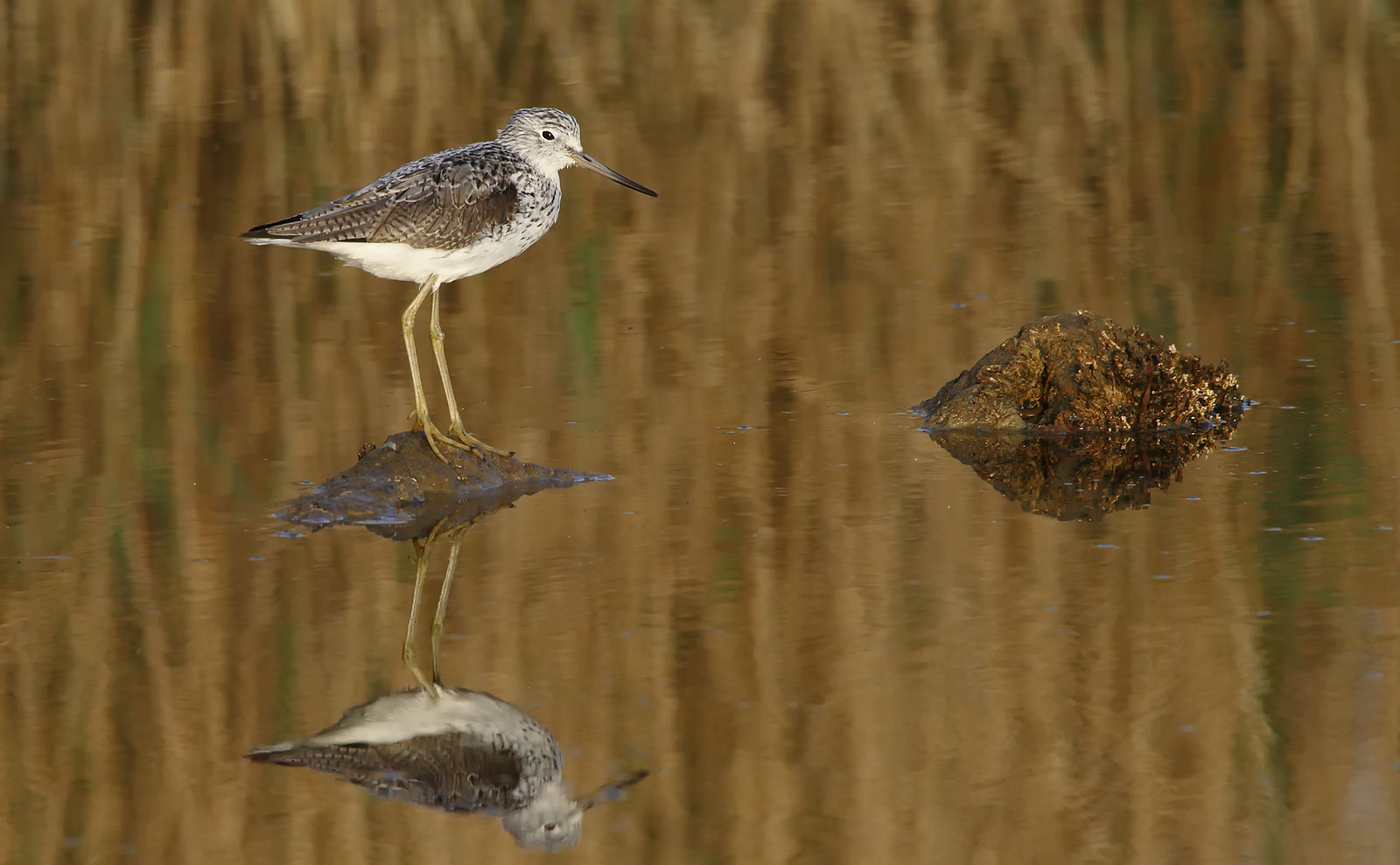 Greenshank at dawn