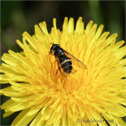 Hoverfly........Dasysyrphus tricinctus