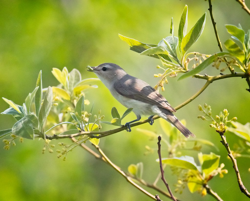 Vireo with lunch