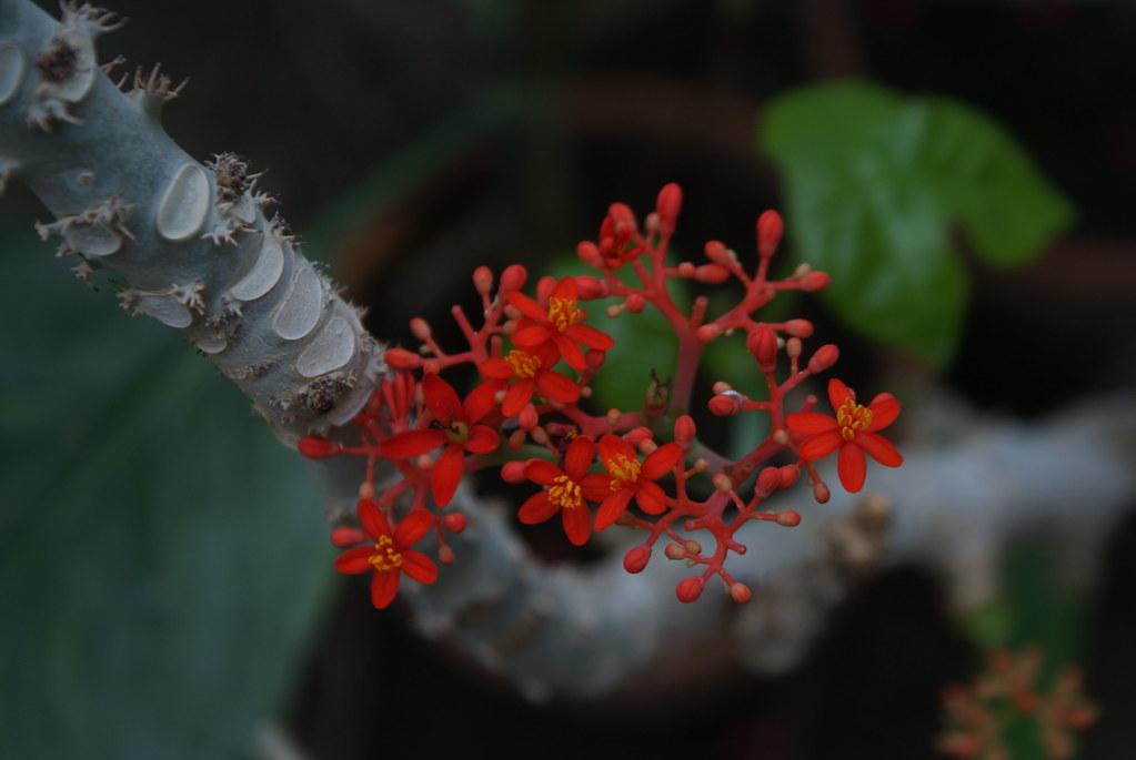Jatropha podagrica, fleur tropicale dans le jardin botanique de Naples.