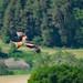 Roter Milan - red kite (Milvus milvus)