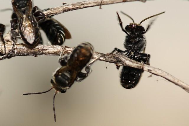 Some Australian bees