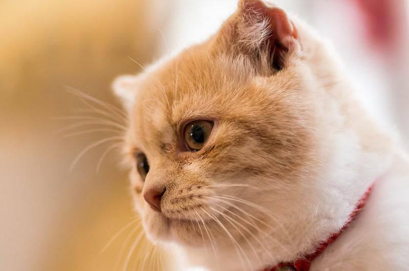gato exótico naranja