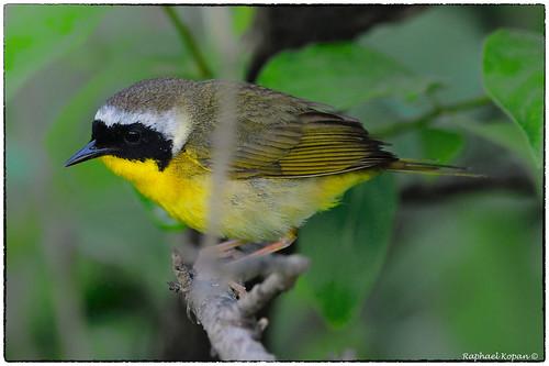 d500 withrow park cincinnati ohio raphaelkopanphotography nikkor600f4evr 14xtciii nikon warblers warbler wildlife