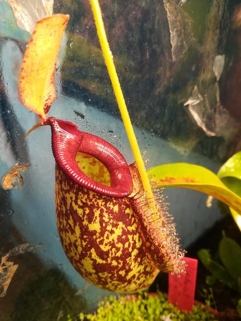 Nepenthes x hokeriana