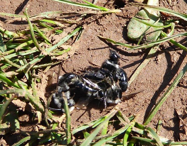 Ashy Mining Bees mating