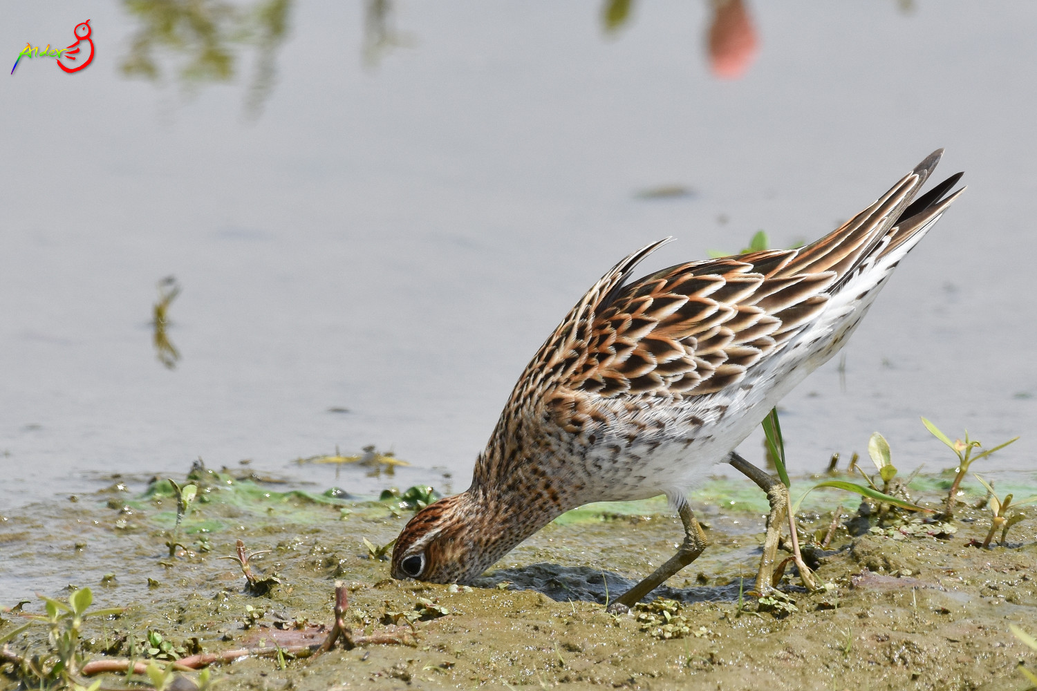 Sharp-tailed_Sandpiper_5554