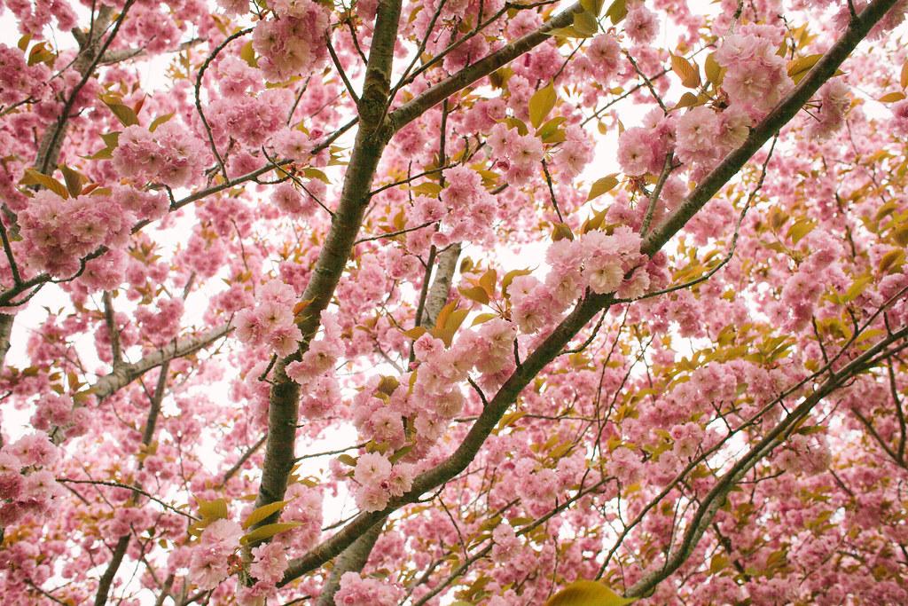 八戸はまだ桜が咲いていた