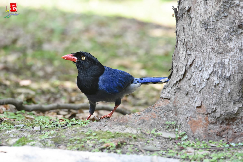 Formosan_Blue_Magpie_6391