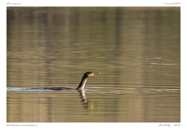 Grand Cormoran   Great Cormorant   Phalacrocorax carbo