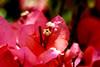 Photo:Bougainvillea in The  Ofuna Botanical Garden, Ofuna, Kamakura : ブーゲンビリア(神奈川県立フラワーセンター大船植物園) By Dakiny