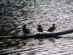 swan(0.0), duck(0.0), cormorant(0.0), animal(1.0), water bird(1.0), waterfowl(1.0), ducks, geese and swans(1.0), bird(1.0),