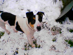 animal, danish swedish farmdog, dog, snow, mammal, fox terrier, russell terrier, terrier,