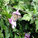 Butterfly in purple hibiscus
