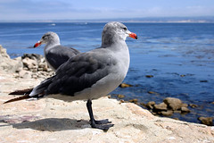 european herring gull(0.0), stock dove(0.0), animal(1.0), charadriiformes(1.0), sea(1.0), fauna(1.0), great black-backed gull(1.0), beak(1.0), bird(1.0), seabird(1.0), wildlife(1.0),