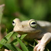 Emerald-eyed Treefrog - Photo (c) Diego Lizcano, some rights reserved (CC BY)
