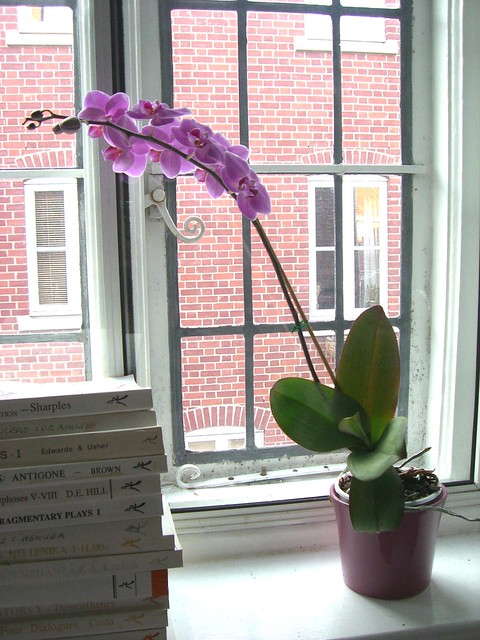 Phalenopsis on bedroom windowsill