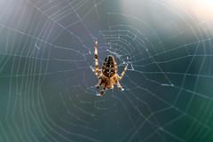 Harvest spider