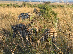 adventure(0.0), animal(1.0), prairie(1.0), steppe(1.0), grass(1.0), zebra(1.0), plain(1.0), mammal(1.0), herd(1.0), grazing(1.0), fauna(1.0), wilderness(1.0), savanna(1.0), grassland(1.0), safari(1.0), wildlife(1.0),