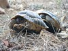 "<a href=""http://www.flickr.com/photos/jcherfas/245803771/"">Photo of Testudo graeca by Jeremy Cherfas</a>"