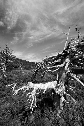 Photograph in black-and-white of tree roots under cirrus sky