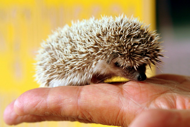 baby hedgehog - iriqi