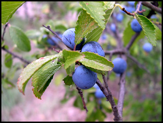 | blue fruits |