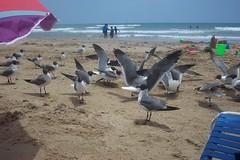 Sea Gulls at South Padre Island, TX