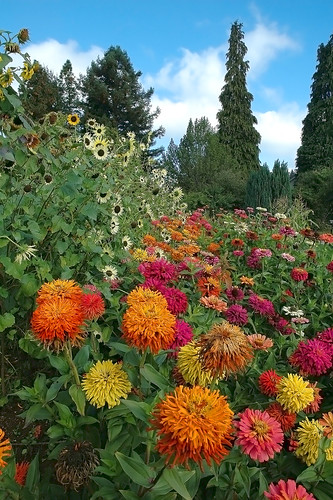 Zinnias and sunflowers
