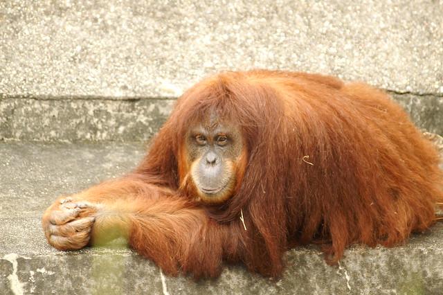 オラウータン(Orang-utan)