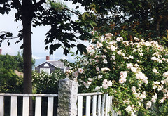Martha's Vineyard roses