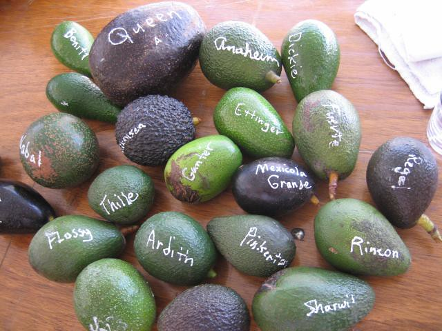 Avocado cultivars