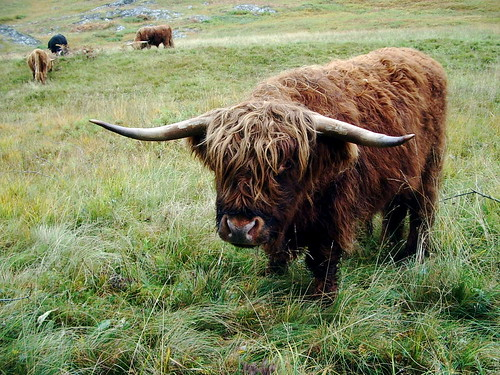 Fuzzy The Highland Coo