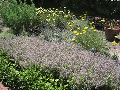Flowering herbs in the TBG Herb Garden