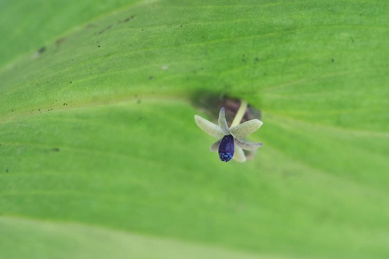Ruscus colchicus flower