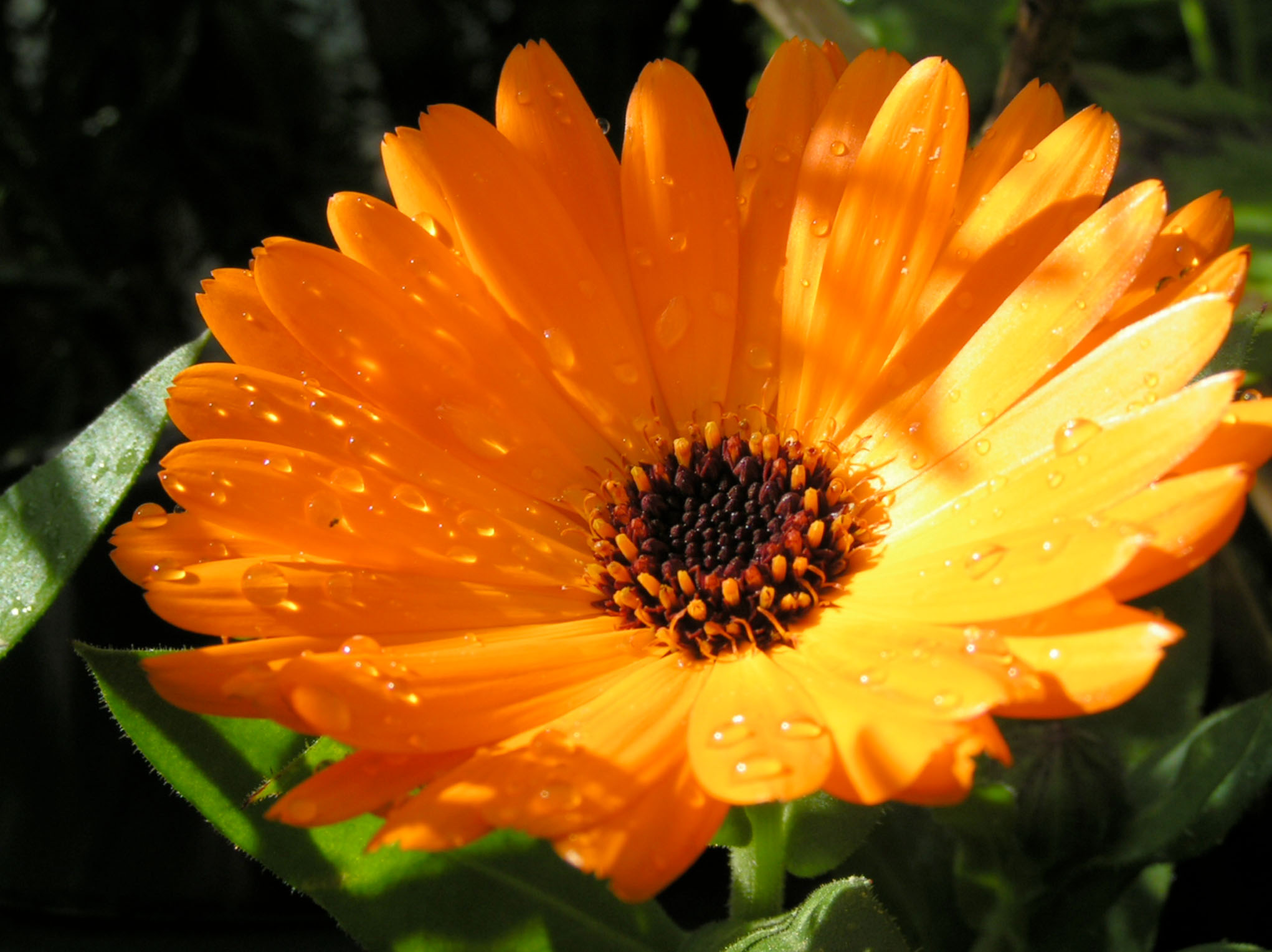 Marigold Edible Flowers to Flavour your Food & Improve your Health (gardeningflavours.com)