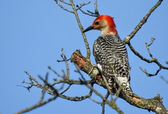 Rec-bellied Woodpecker in Greenbelt Park