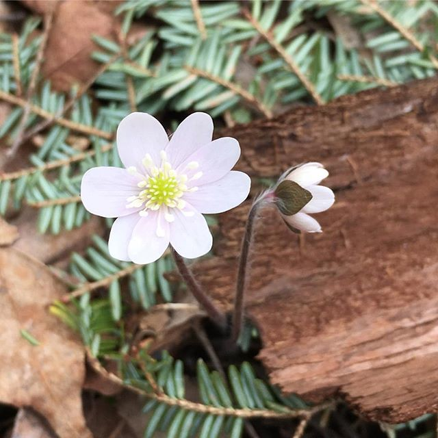 Hey, I did find a #hepatica, @enting3! Not as colorful as the ones you found. 🌸