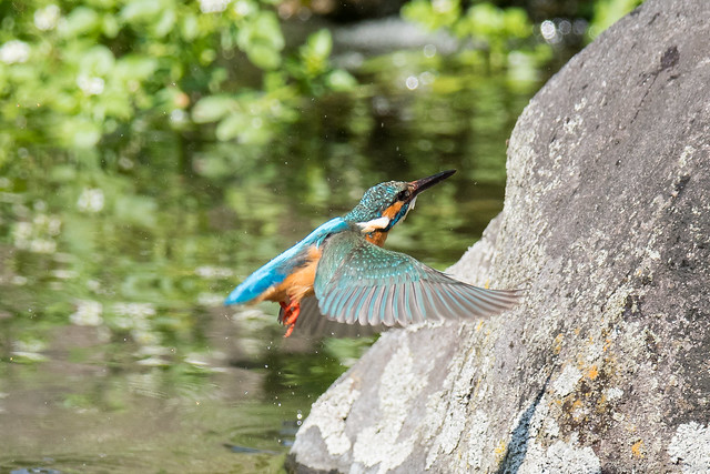 20180504-kingfisher-DSC_1350