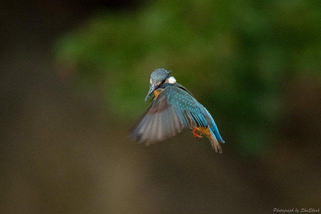 20180503-kingfisher-DSC_1266