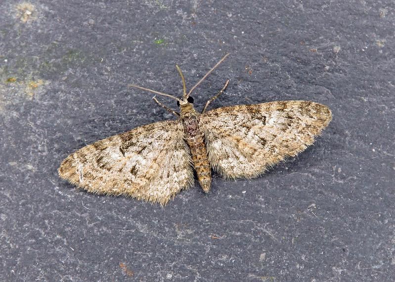 70.156 Brindled Pug - Eupithecia abbreviata