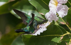 Green-throated Carib  Hummingbird (Eulampis holosericeus)