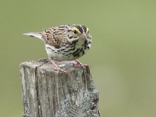 Savannah Sparrow 03-20180515