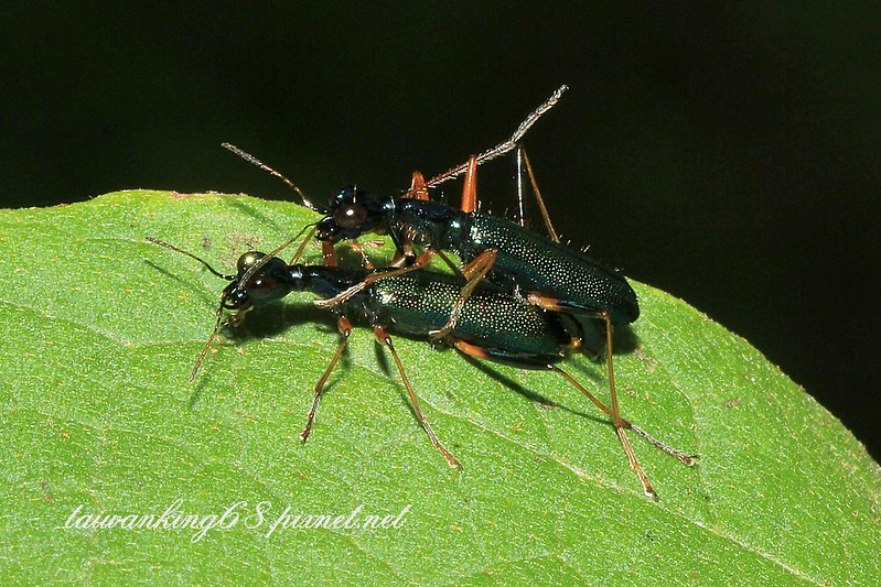 台灣長頸虎甲蟲