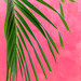 Pink Wall with Palm Frond por SammCox