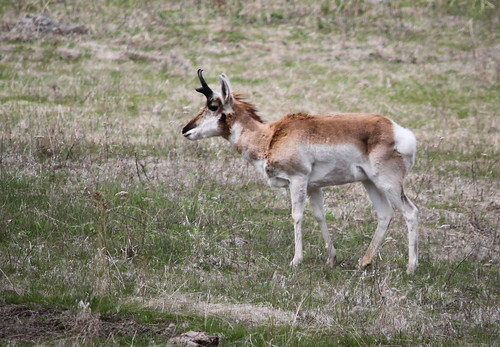 National Bison Range - Pronghorn Antelope