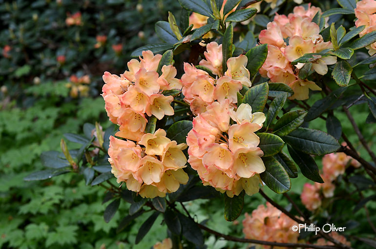 rhododendron-seaview-sunset