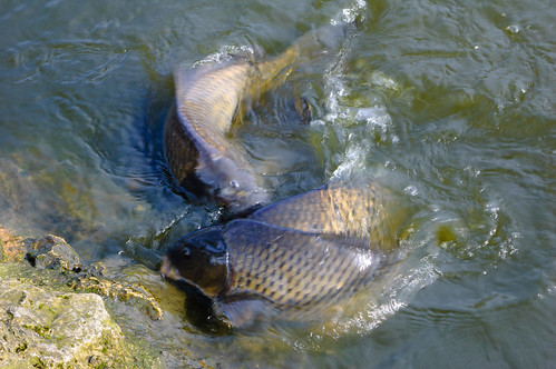 Carp thrashing, West Park